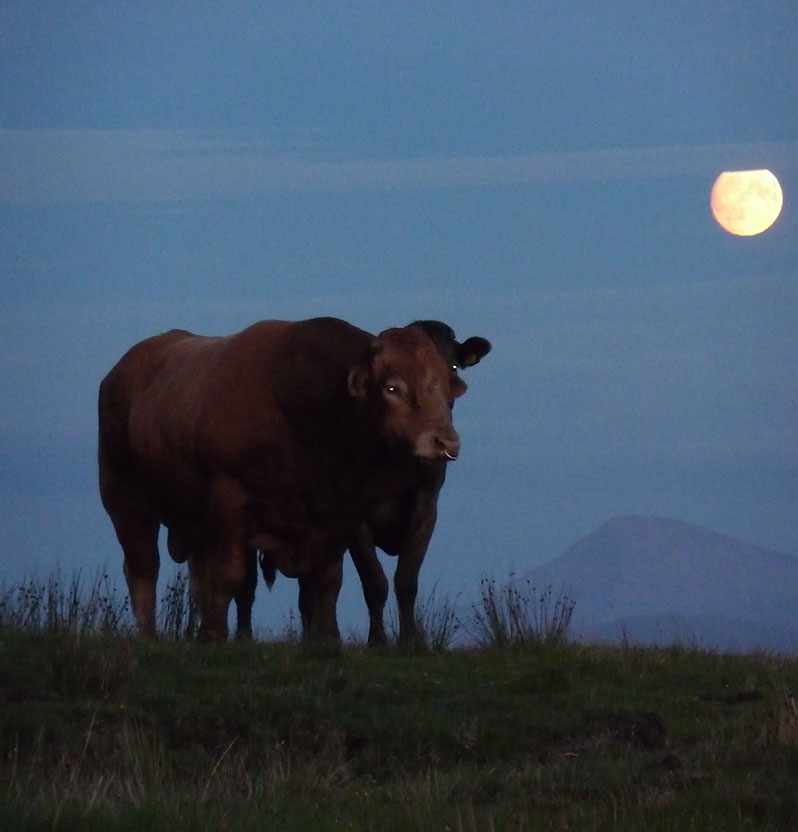 cows sunset